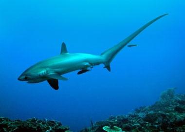 Thresher shark | Mind Boggling Facts